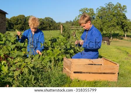 Farm boys picking the beans in vegetable garden - stock photo