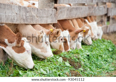 farm calves eat fresh green grass fodder