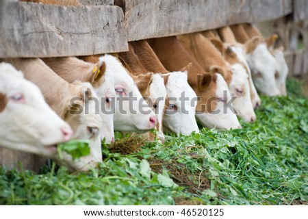 farm calves eating grass fodder