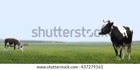 Farm cows grazing on a green site pole. - stock photo