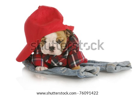 farm dog - adorable english bulldog puppy wearing plaid shirt and red hat sitting on denim jeans