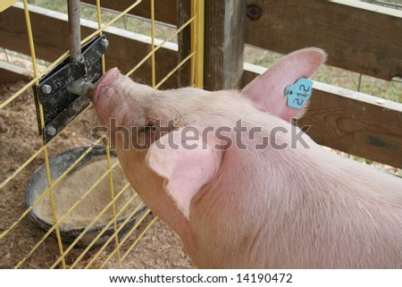 FARM FAIR PIG DRINKING - stock photo