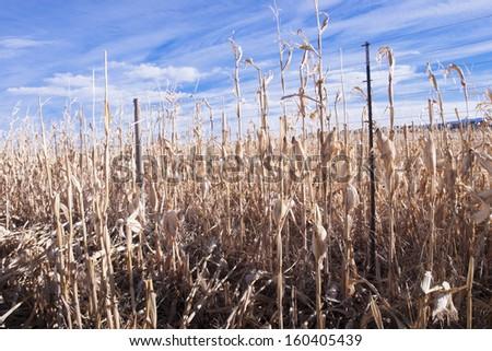 Farm field of dry corn in fall in Colorado. - stock photo