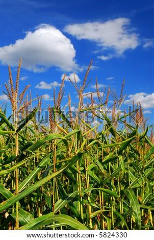Farm field with growing corn under blue sky - stock photo