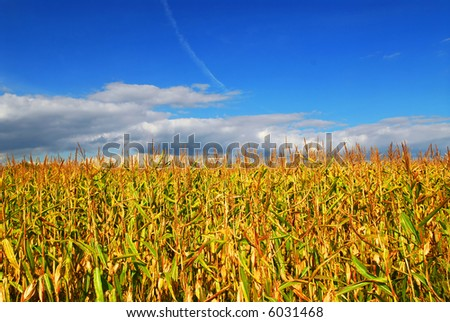Farm field with growing corn under blue sky.