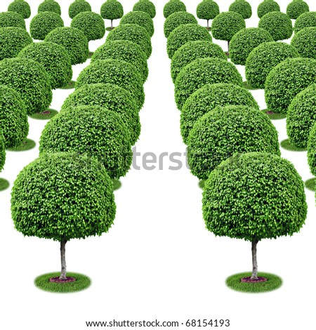 Farm field with rows of trees converging into a vanishing point - isolated [Ficus benjamina]. - stock photo