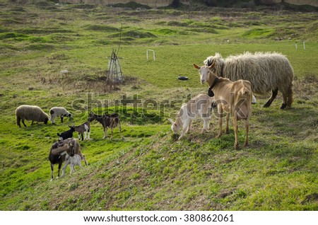 Farm field with sheep and goat