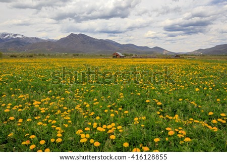 Farm fields full of yellow dandelions in rural Utah, USA. - stock photo