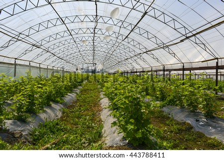 Farm for cultivation of currants