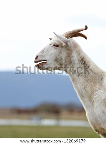 farm goat bleating - stock photo