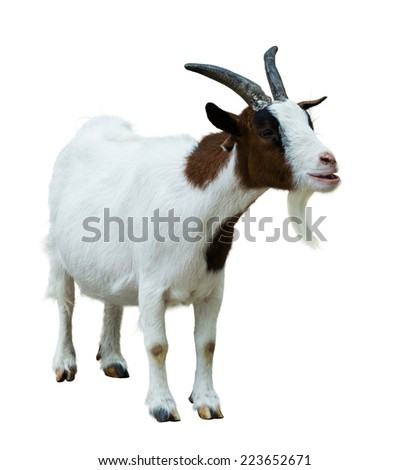 Farm goat. Isolated on white background - stock photo