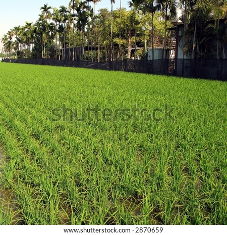 Farm in the Tropics -- with rice paddy fields and palm trees