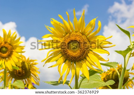 farm of sunflowers under  the sunshine