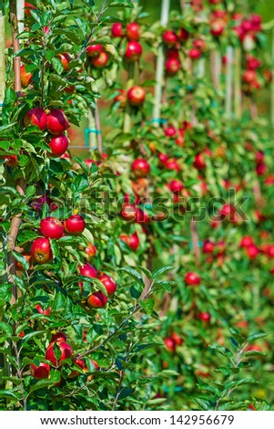 Farm of tasty red apples on the trees - stock photo