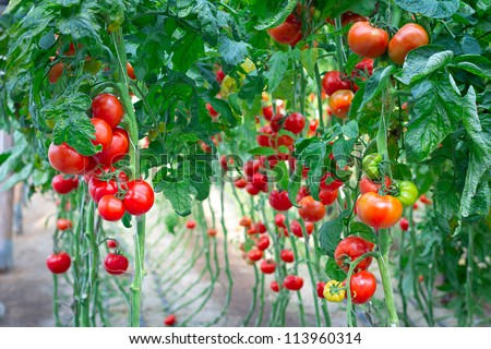 Farm of tasty red tomatoes on the bushes