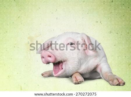 Farm, pig, white. - stock photo