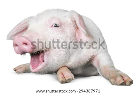 Farm, pig, white. - stock photo