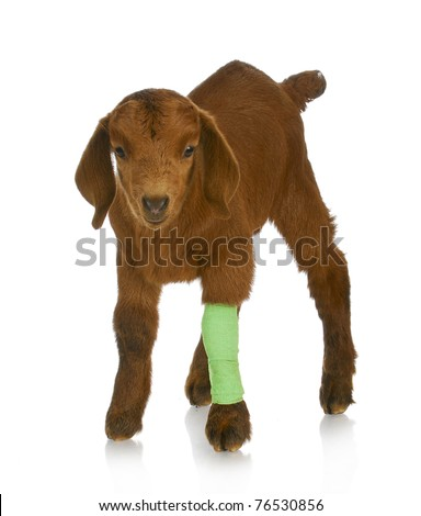 farm veterinary care - south african goat kid with wounded leg in bandage - stock photo