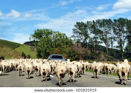 Farm with sheep landscape in south Island, New Zealand. - stock photo