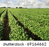 farm with soybean field with rows of soya bean plants - stock photo