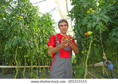 Farm worker picking tomato in a greenhouse - stock photo