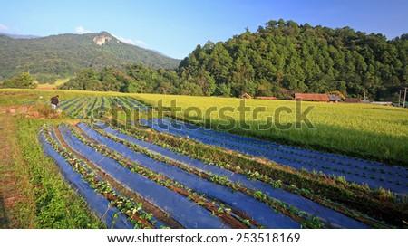 farmer at vegetable and rice farm at Mae Klang Luang in Chiang Mai, Thailand - stock photo