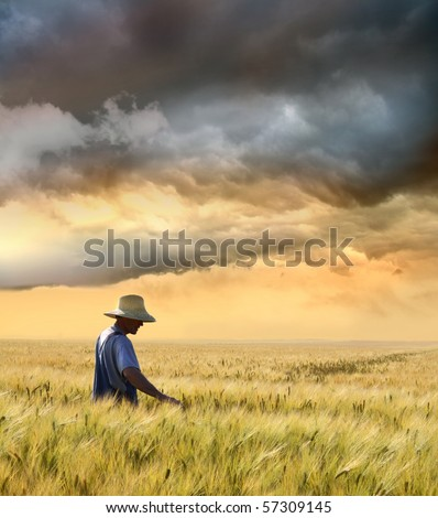 Farmer checking his crop of wheat against a beautiful sunset - stock photo