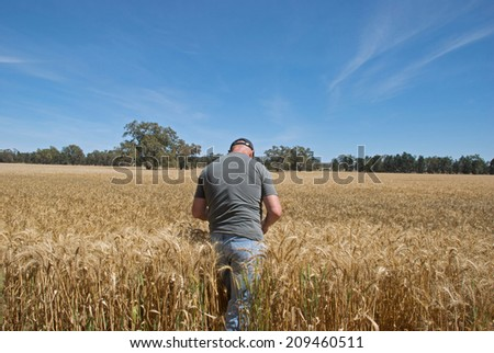 farmer checking how close crop is to harvesting - stock photo
