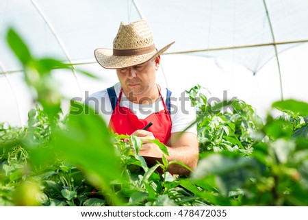 Farmer checking organic chili plants