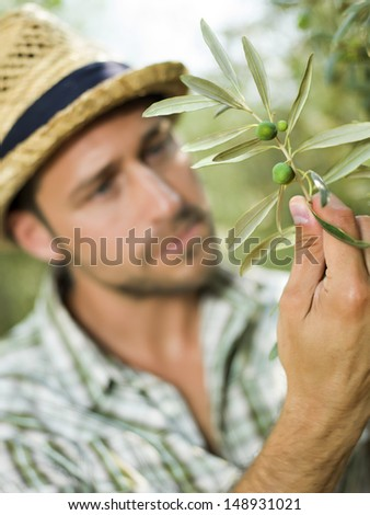 farmer checks the state of maturity of its olives - stock photo