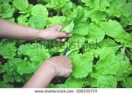 farmer cropping green lettuce from the vegetable bed in vintage style. Organic garden at home - stock photo