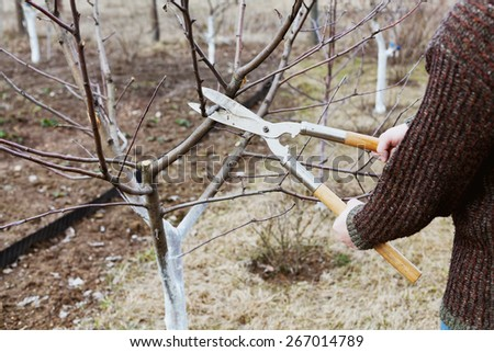farmer cuts with pruning shears fruit trees in a spring garden - stock photo