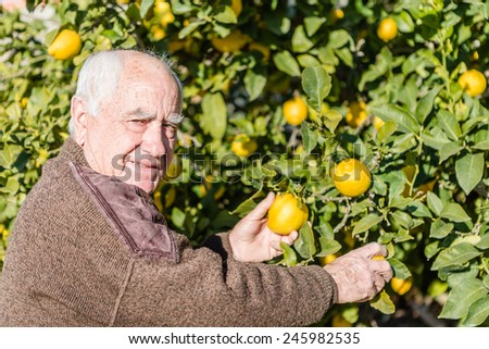 Farmer cutting lemons of a tree full of ripe fruit