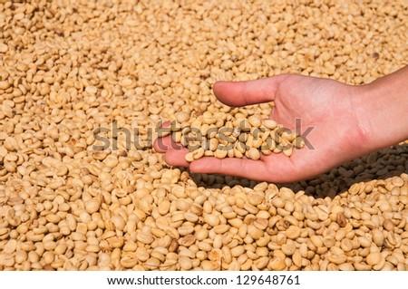 Farmer drying coffee beans in the sun - stock photo