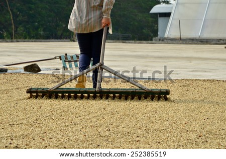 Farmer drying coffee, Dries coffee, Coffee beans raked out for drying - stock photo