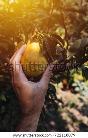 Farmer examining and picking pear fruit grown in organic orchard garden, male hand holding ripening fruit