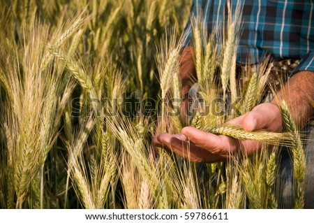Farmer hand having care of his ripe wheat before the harvest - stock photo