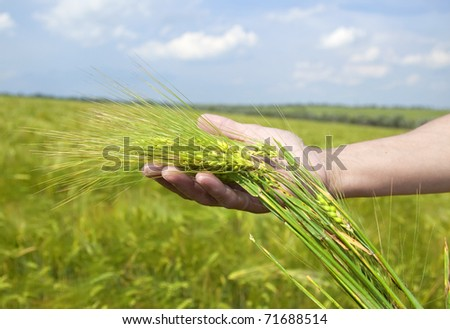 Farmer hand keep green wheat spikelet. - stock photo