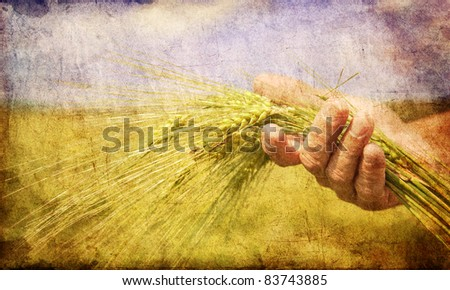Farmer hand keep green wheat spikelet.  Photo in old color image style. - stock photo