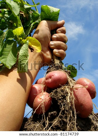 farmer hand with fresh digging potato plant with tubers - stock photo