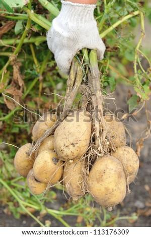 farmer hand with potato tubers - stock photo