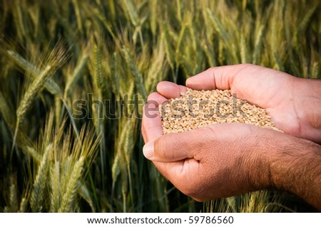 Farmer hands full of ripe wheat seeds in front of yellow field ready for the harvest - stock photo