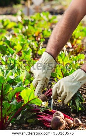 Farmer hands harvesting beetroots from the ground soil earth, local produce and seasonally concept - stock photo