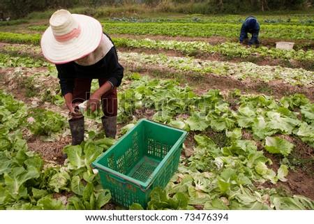 Farmer harvest product in vegetable garden, Thailand - stock photo