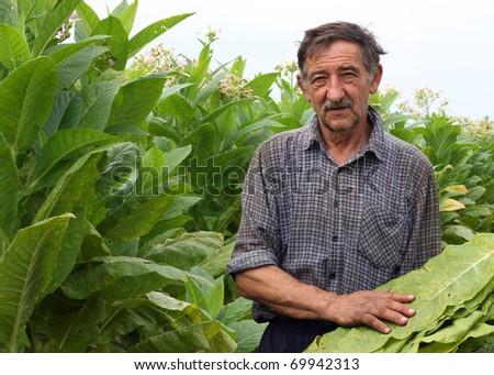 Farmer harvest tobacco in the field - stock photo
