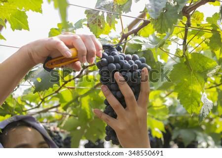 farmer harvested grapes at a vineyard. - stock photo