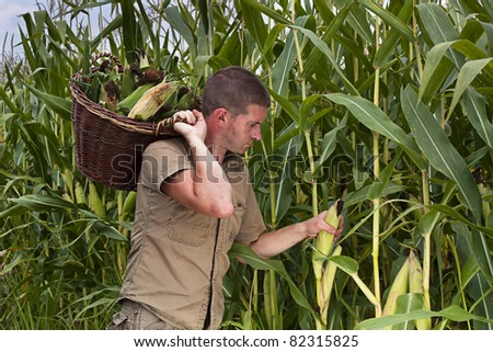 Farmer harvesting maize or sweetcorn  in a large basket - stock photo