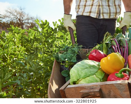 Farmer harvesting organic vegetables on a sustainable farm growing seasonal produce on a wheelbarrow - stock photo