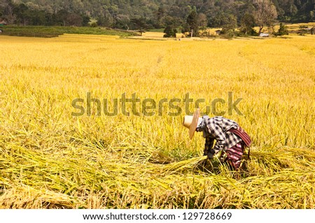 farmer harvesting rice in rice field in Thailand - stock photo