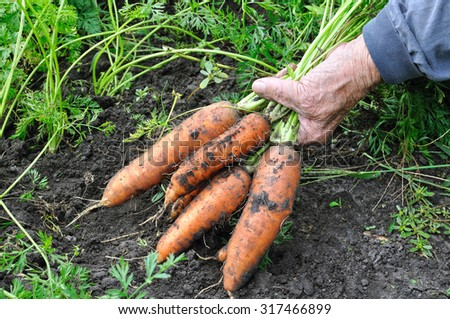farmer hold freshly harvested ripe carrots in the vegetable garden - stock photo